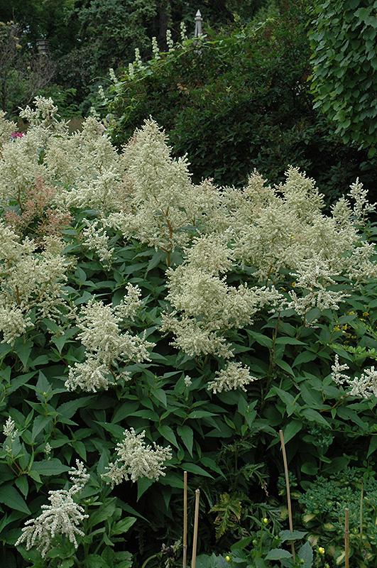 White Fleeceflower Persicaria Polymorpha In Lancaster York