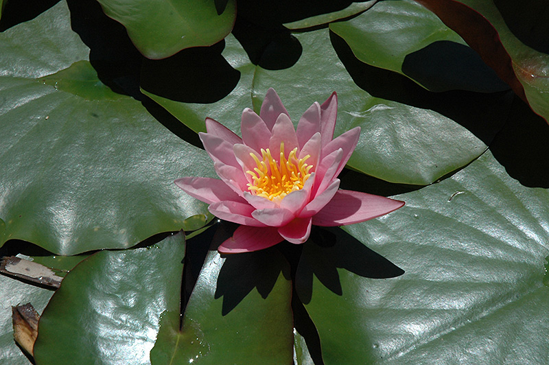 Pink Sensation Hardy Water Lily Nymphaea Pink Sensation In