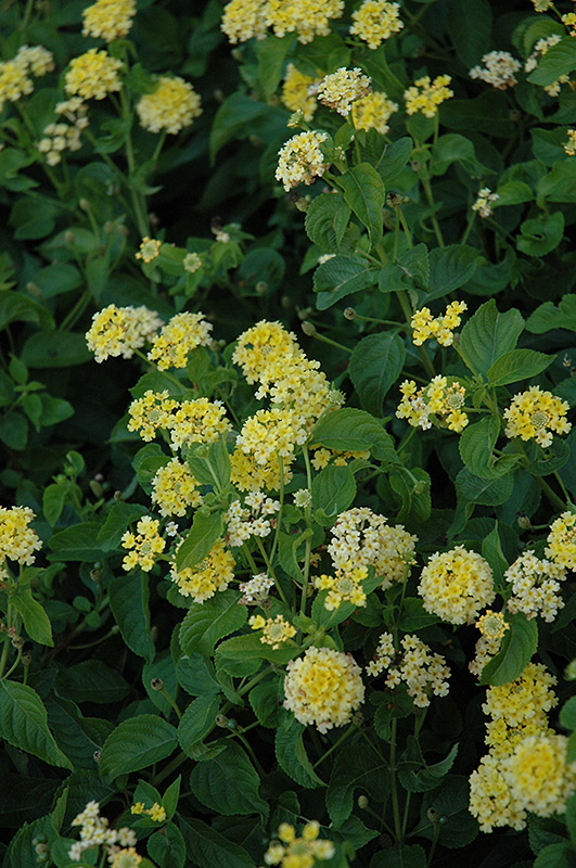 Landmark Yellow Lantana Lantana Camara Landmark Yellow In