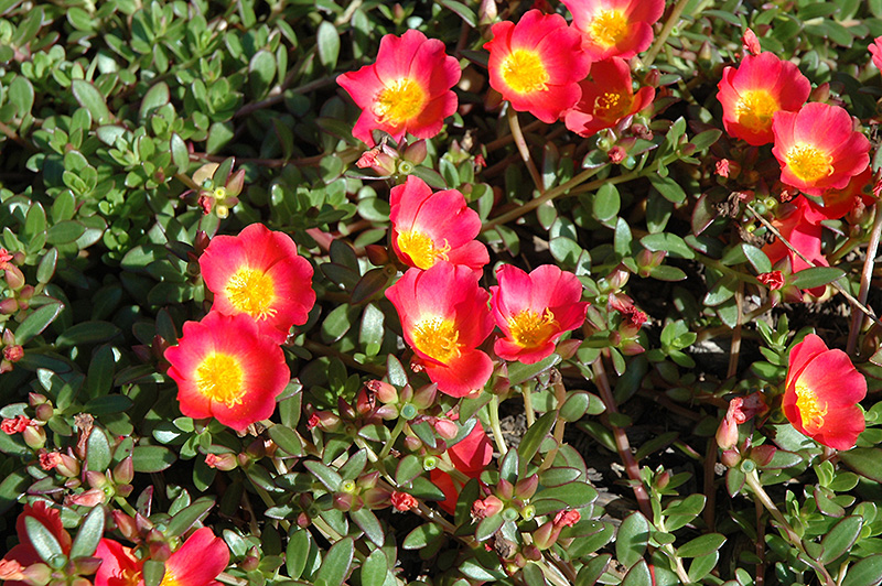 Cupcake Carrot Portulaca (Portulaca Grandiflora U0027Cupcake Carrotu0027) At  Stauffers Of Kissel Hill