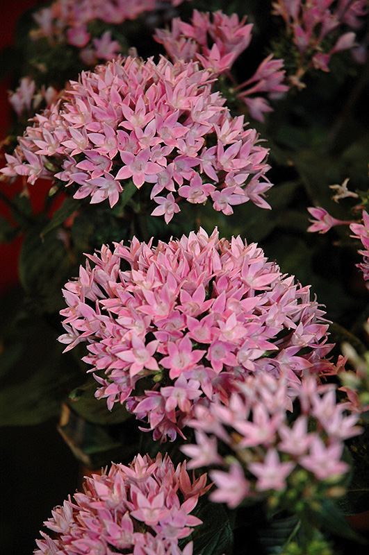 Starcluster™ Lavender Star Flower (Pentas lanceolata 'Starcluster Lavender') at Stauffers Of