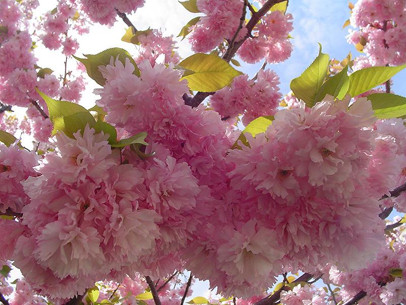 Kwanzan Flowering Cherry Prunus Serrulata Kwanzan In Lancaster
