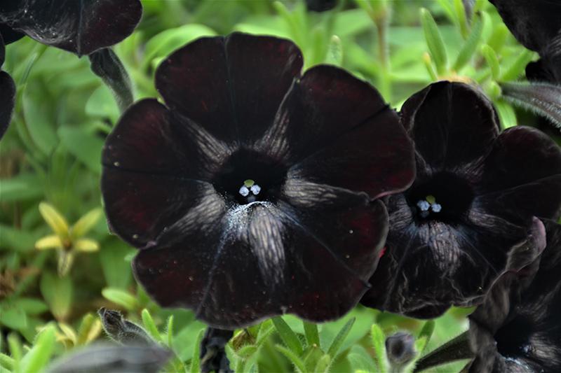 Sweetunia Black Satin Petunia Petunia Sweetunia Black Satin In