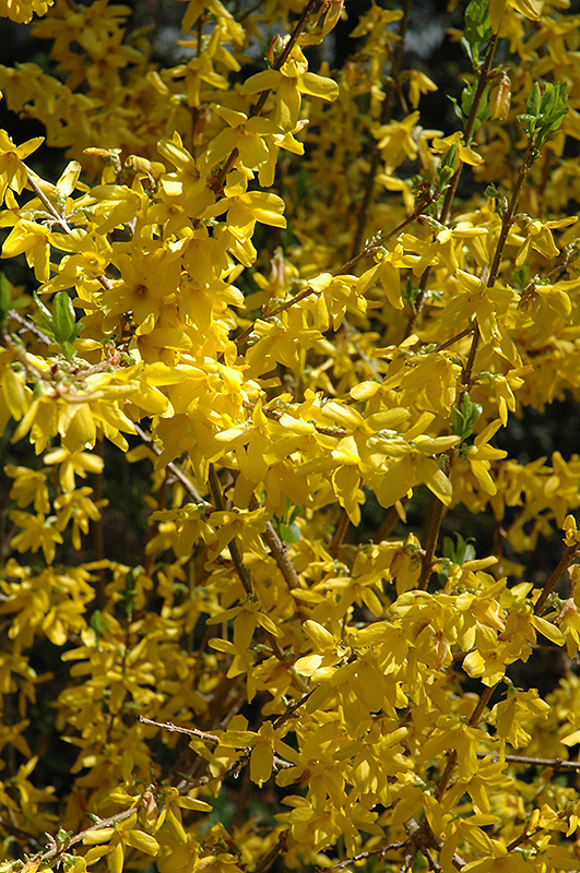Lynwood Gold Forsythia (Forsythia X Intermedia U0027Lynwood Goldu0027) At Stauffers  Of Kissel
