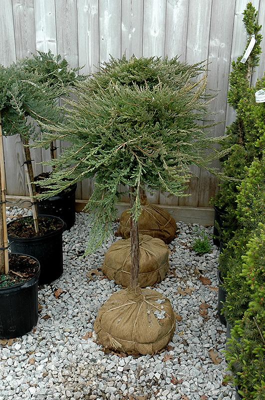 Blue Chip Juniper Tree Form Juniperus Horizontalis
