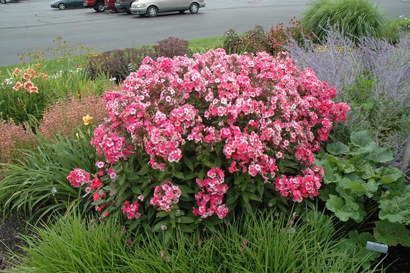 glamour girl garden phlox phlox paniculata glamour girl at stauffers of kissel - Tall Garden Phlox