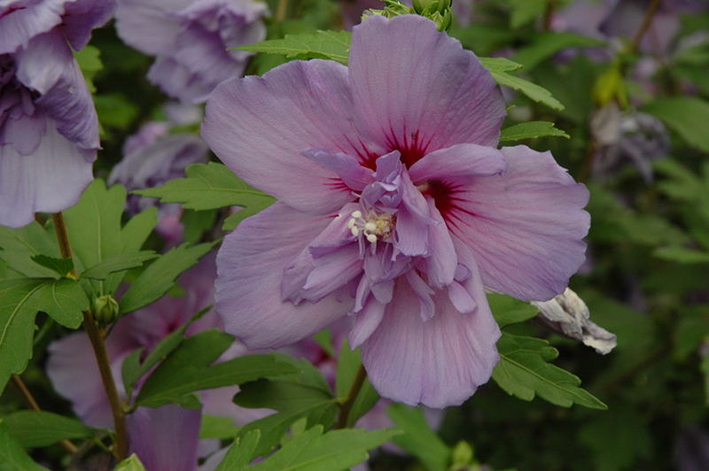 Blue Chiffon Rose Of Sharon Hibiscus Syriacus Notwoodthree In