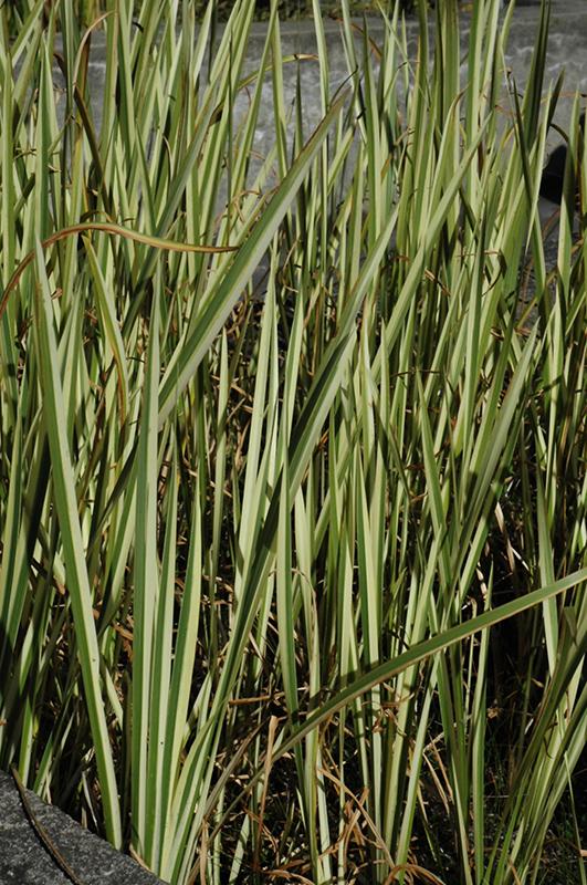 Variegated Sweet Flag (Acorus calamus 'Variegatus') in ...  Acorus Calamus Plant For Sale