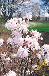 Centennial Magnolia (Magnolia stellata 'Centennial') at Stauffers Of Kissel Hill