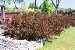 Wine and Roses® Weigela (Weigela florida 'Alexandra') at Stauffers Of Kissel Hill