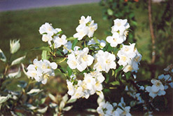 Blizzard Mockorange (Philadelphus 'Blizzard') at Stauffers Of Kissel Hill