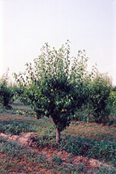 Anjou Pear (Pyrus communis 'Anjou') at Stauffers Of Kissel Hill