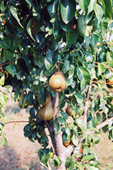 Bosc Pear (Pyrus communis 'Bosc') at Stauffers Of Kissel Hill