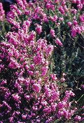 Purple Beauty Heath (Erica cinerea 'Purple Beauty') at Stauffers Of Kissel Hill
