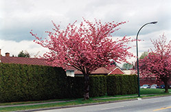 Kwanzan Flowering Cherry (Prunus serrulata 'Kwanzan') at Stauffers Of Kissel Hill