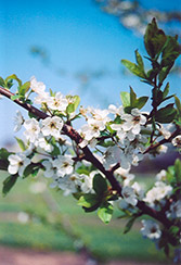 Shiro Plum (Prunus 'Shiro') at Stauffers Of Kissel Hill