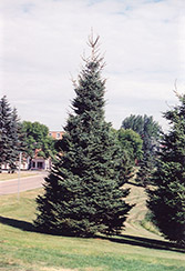 Black Hills Spruce (Picea glauca 'Densata') at Stauffers Of Kissel Hill