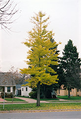 Princeton Sentry Ginkgo (Ginkgo biloba 'Princeton Sentry') at Stauffers Of Kissel Hill