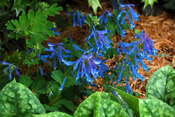 Blue Corydalis (Corydalis elata) at Stauffers Of Kissel Hill