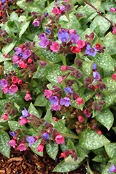 Dark Vader Lungwort (Pulmonaria 'Dark Vader') at Stauffers Of Kissel Hill