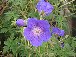 Orion Cranesbill (Geranium 'Orion') at Stauffers Of Kissel Hill
