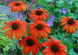Tangerine Dream Coneflower (Echinacea 'Tangerine Dream') at Stauffers Of Kissel Hill