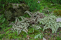 Japanese Painted Fern (Athyrium nipponicum 'Pictum') at Stauffers Of Kissel Hill