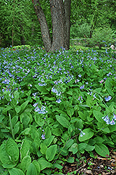 Virginia Bluebells (Mertensia virginica) at Stauffers Of Kissel Hill