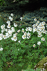 Windflower (Anemone sylvestris) at Stauffers Of Kissel Hill