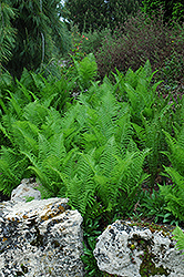 Ostrich Fern (Matteuccia struthiopteris) at Stauffers Of Kissel Hill