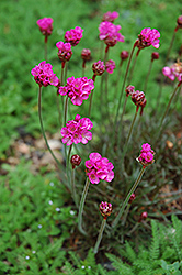 Dusseldorf Pride Sea Thrift (Armeria maritima 'Dusseldorf Pride') at Stauffers Of Kissel Hill