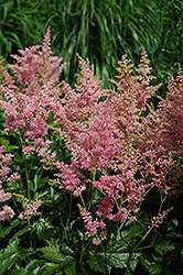Amethyst Astilbe (Astilbe x arendsii 'Amethyst') at Stauffers Of Kissel Hill