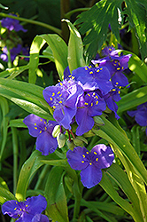 Sweet Kate Spiderwort (Tradescantia x andersoniana 'Sweet Kate') at Stauffers Of Kissel Hill