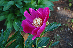 Barrington Belle Peony (Paeonia 'Barrington Belle') at Stauffers Of Kissel Hill