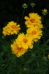 Early Sunrise Tickseed (Coreopsis 'Early Sunrise') at Stauffers Of Kissel Hill