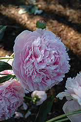 Shirley Temple Peony (Paeonia 'Shirley Temple') at Stauffers Of Kissel Hill