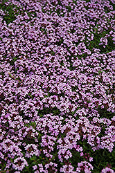 Red Creeping Thyme (Thymus praecox 'Coccineus') at Stauffers Of Kissel Hill