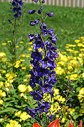 Black Knight Larkspur (Delphinium 'Black Knight') at Stauffers Of Kissel Hill