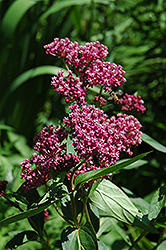 Swamp Milkweed (Asclepias incarnata) at Stauffers Of Kissel Hill