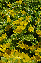 Creeping Jenny (Lysimachia nummularia) at Stauffers Of Kissel Hill