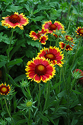 Goblin Blanket Flower (Gaillardia x grandiflora 'Goblin') at Stauffers Of Kissel Hill