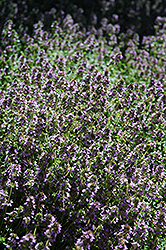Lemon Thyme (Thymus x citriodorus) at Stauffers Of Kissel Hill