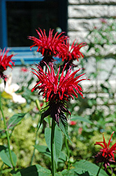 Jacob Cline Beebalm (Monarda 'Jacob Cline') at Stauffers Of Kissel Hill