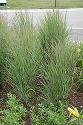 Shenandoah Reed Switch Grass (Panicum virgatum 'Shenandoah') at Stauffers Of Kissel Hill