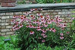 Magnus Coneflower (Echinacea purpurea 'Magnus') at Stauffers Of Kissel Hill