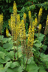The Rocket Rayflower (Ligularia 'The Rocket') at Stauffers Of Kissel Hill