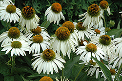 White Swan Coneflower (Echinacea purpurea 'White Swan') at Stauffers Of Kissel Hill