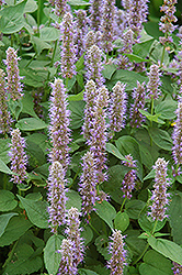Blue Fortune Anise Hyssop (Agastache 'Blue Fortune') at Stauffers Of Kissel Hill