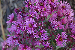 Woods Pink Aster (Aster 'Woods Pink') at Stauffers Of Kissel Hill
