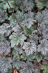 Frosted Violet Coral Bells (Heuchera 'Frosted Violet') at Stauffers Of Kissel Hill